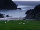 A Flock of Sheep Graze on Seaweed on Iona&#39;s Beach