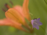 Close Up of an Ant on a Bluebell with a Western Red Lily Behind