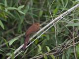 Portrait of a Little Cuckoo  Playa Minuta  Perched in a Tree