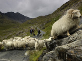 A Sheep Herd and Herders
