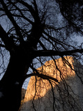 Black Oak Tree Silhouetted Against El Capitan at Sunset in Yosemite
