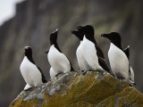 The Shaint Islands are Breeding Grounds for Razorbills