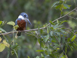Ringed Kingfisher  Ceryle Torquata  Perched on a Tree Branch