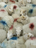 A Flock of Sheep with Dye Markings