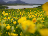 A Field of Yellow Wildflowers Near Uig Bay