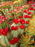Flowering Cactus Plants for Sale at a Street Market