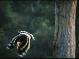 A Male Great Hornbill Swoops Down to Forage in the Rain Forest