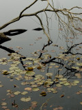 The Branch of a Tree Reflected on a Pond with Water Lily Pads