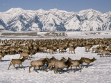 A Herd of Elk Moving Through the Snow Covered Rangeland of the National Elk Refuge