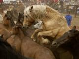 Corraled Wild Horses at La Rapa Das Bestas Festival