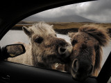 Wild Moor Ponies Poke their Heads into a Car