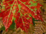 Close View of a Red Maple Leaf on Franey Mountain in Cape Breton Highlands National Park