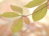 Close Up of Pacific Dogwood Leaves in Yosemite Valley Shot in Autumn