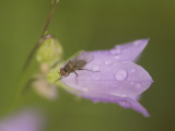 Close Up of a Fly on a Bluebell Flower Shot in the Grasslands