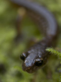 A Close Up of a California Newt  Taricha Torosa