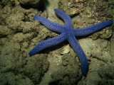 A Close View of a Blue Sea Star  Linckia Laevigata  on the Sea Floor