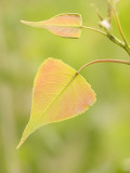 Close Up of New Leaves Growing on a Plains Cottonwood Tree