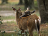 A Pair of Deer Nuzzle in the Okefenokee Swamp