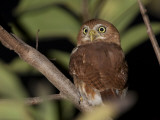 A Ferruginous Pygmy Owl  Glaucidium Brasilianum  on a Tree Branch