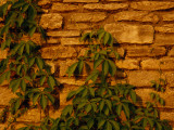 Virginia Creeper Vine Clinging to a Stone Wall