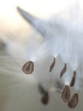 Close Up of Milkweed Seeds Shot Near Cook's Meadow in Yosemite Valley