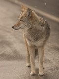 Close Up of a Coyote Standing in the Road While it Is Snowing