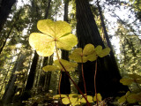 Redwood Sorrel Plants  Oxalis Oregana  in the Forest