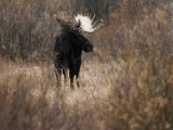A Bull Moose Near the Snake River