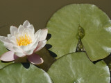 A Pond Lily and a Mosquito Fish in a Pond