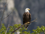 American Bald Eagle  Haliaeetus Leucocephalus  Perched on a Limb