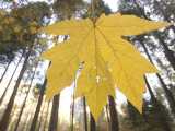 Close Up of Bigleaf Maple Leaf Shot in the Forest in Autumn