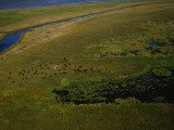 Bison Graze and Rest in the Green of the Peace-Athabasca Delta