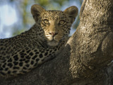 A Leopard in the Okavango Delta Area of Botswana