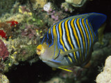 A Side View of a Regal Angelfish  Pygoplites Diacanthus