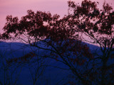 Silhouetted Tree  and Sunset over the Blue Ridge Mountains