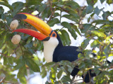 Toco Toucan  Ramphastos Toco  Eating Palm Nuts