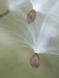 Close Up of Milkweed Seeds Shot Near Cook&#39;s Meadow in Yosemite Valley