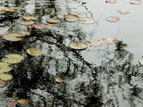Autumn View of Water Lily Pads and the Reflection of a Tree on a Pond