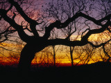 Sunset Through Silhouetted Oak Trees