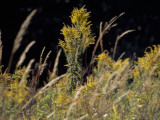 Goldenrod Flowers and Prairie Grass