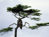 Young Bald Eagle Perched in Hemlock  Gwaii Haanas  Queen Charlotte Island