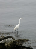 An Egret Wading Along the Water's Edge