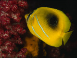 A Bennett's Butterfly Fish Swimming Near Pink Soft Coral