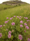 Wild Bergamot Flowers Grow in Little Missouri National Grasslands