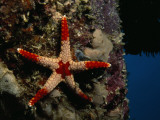 A Red-Tipped Sea Star  Fromia Monilis