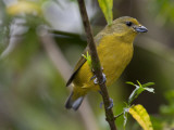 Portrait of a Female Violaceous Euphonia Perched in a Tree  Argentina