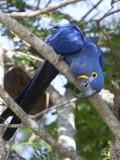 Hyacinth Macaw  Anodorhynchus Hyacinthinus  Perched on a Tree Branch