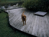 A Pet Dog Standing on a Deck