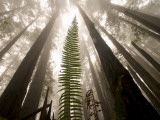 Coast Redwood Trees  Sequoia Sempervirens  in Fog
