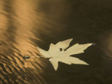 A Bigleaf Maple Leaf Floats Down the Merced River at Sunset in Autumn